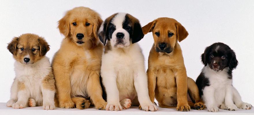 Puppies-Dog-Wallpaper